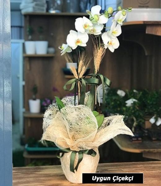 Çift Kök - Beyaz Orkide