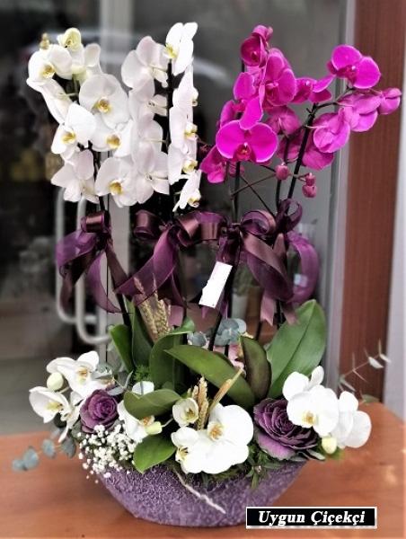 Dört Köklü Orkide - Adapazarı Çiçek