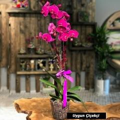 Fujya Orkide