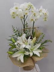 Lilyumlu Orkide