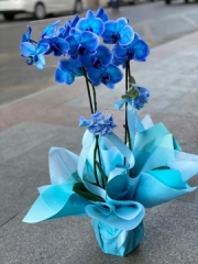 Mavi Orkide-Çift Dal
